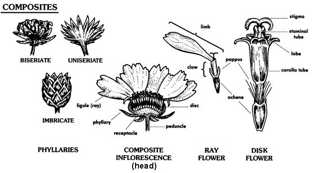 Flower diagrams flower glossary ccuart Choice Image