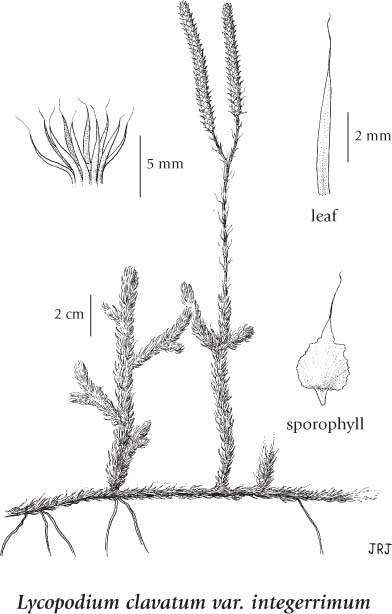 Club Moss Plant Diagram Wiring Diagrams User