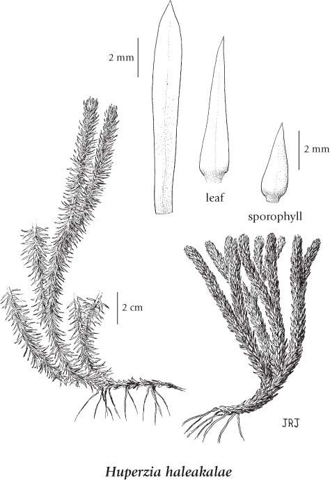Lycopodium Selago