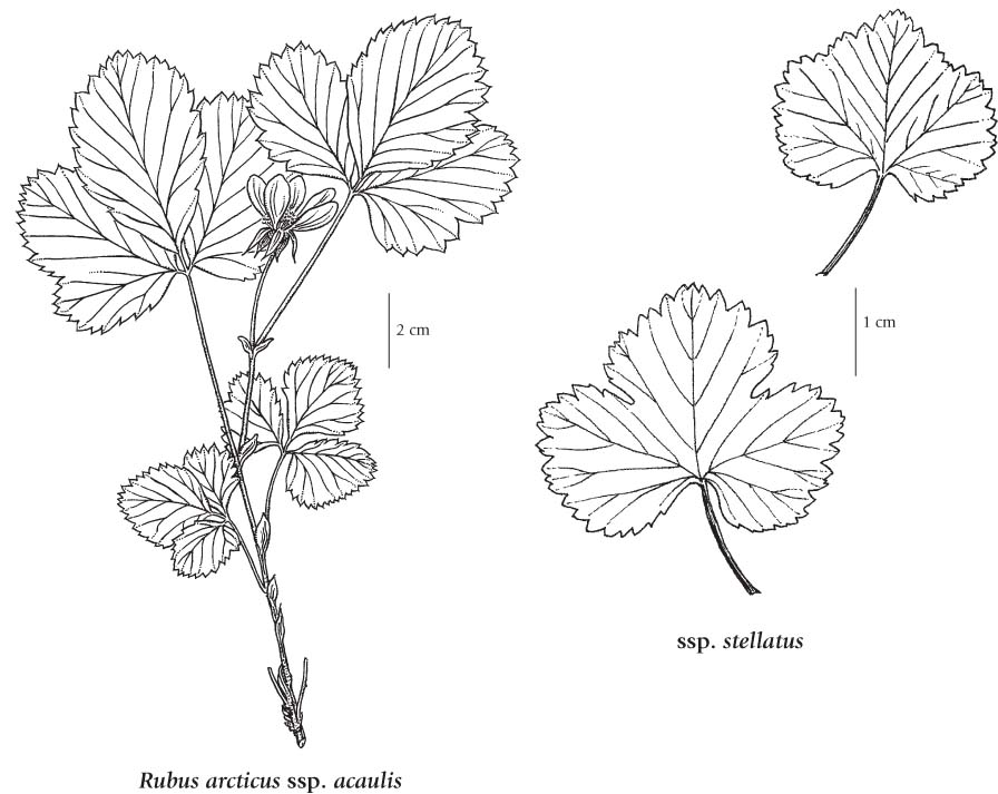 Raspberry Plant Drawing Illustration from Illustrated