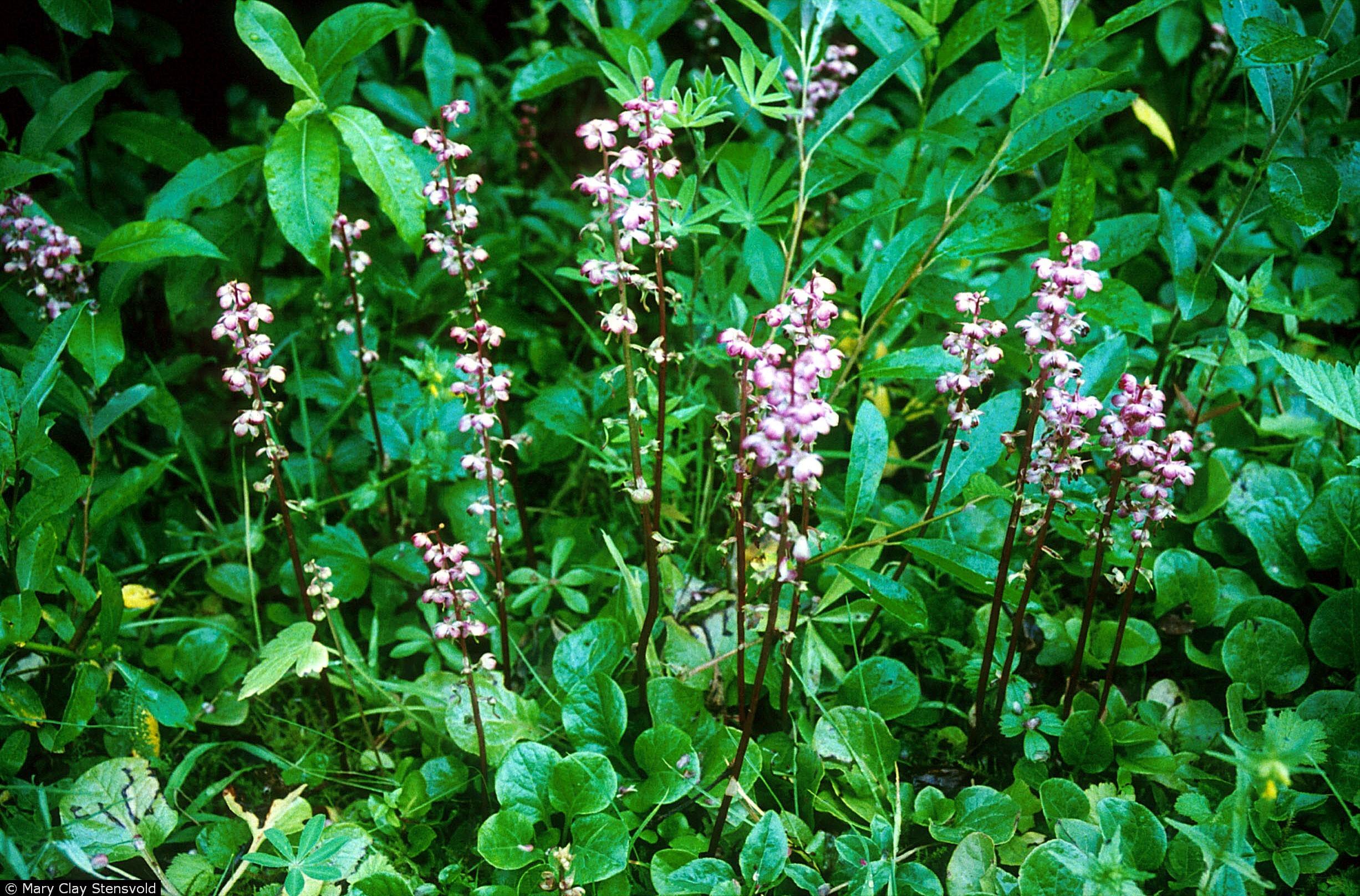 pyrola asarifolia pink pyrola minnesota wildflowers