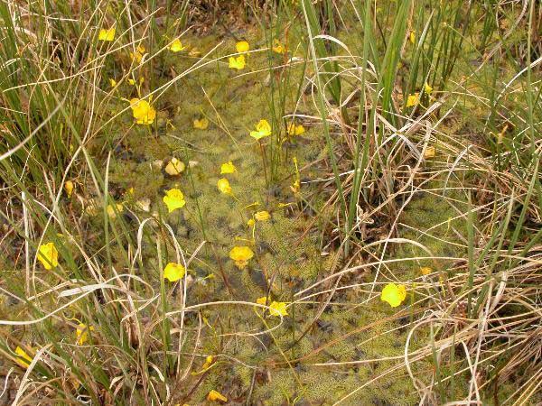 Utricularia intermedia