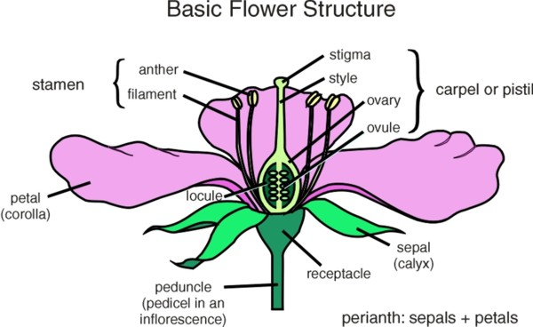 Flower diagrams flower parts infloresence types composite flower parts ccuart Gallery