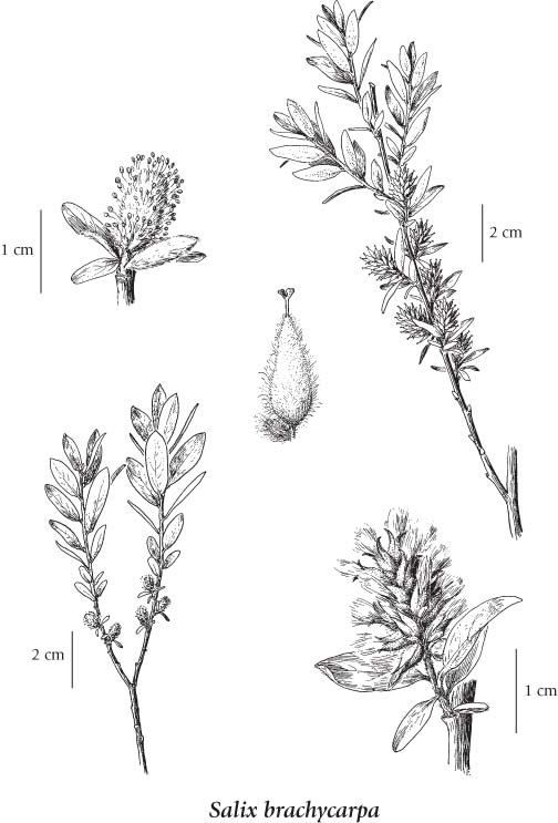 Salicaceae Willow Family