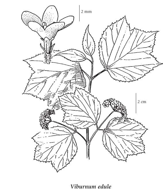 Viburnum Edule